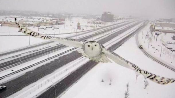 Regardez cette image SPECTACULAIRE d'une CHOUETTE des neiges prise par une caméra de surveillance routière